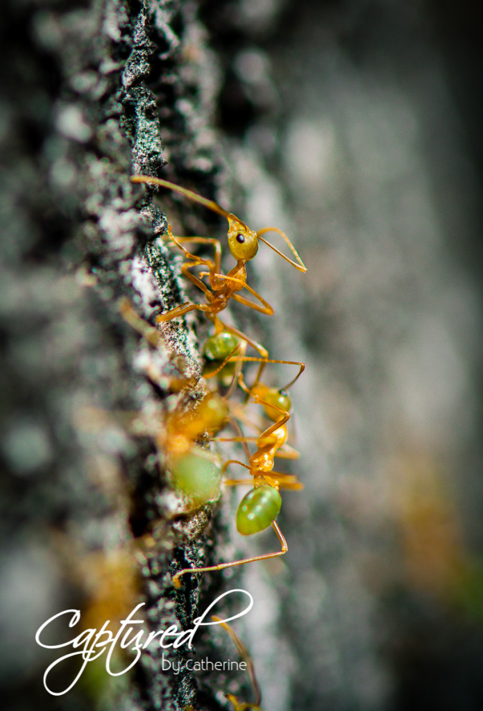 Green Ant - Cairns - Captured by Catherine
