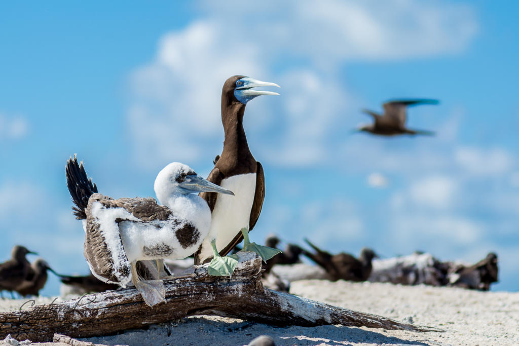 Sula Lecogaster – Brown Booby