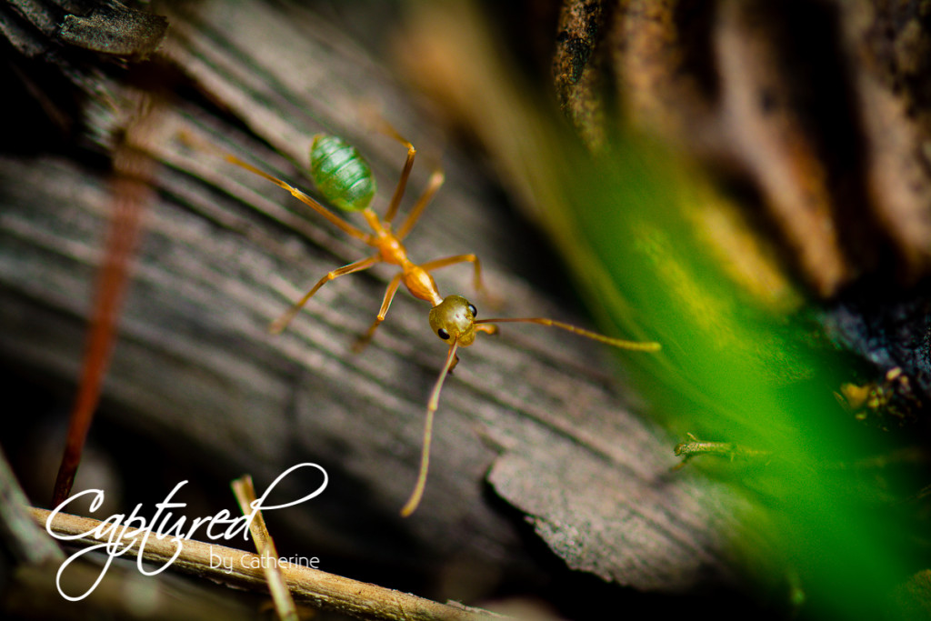 Green Ant - Cainrs
