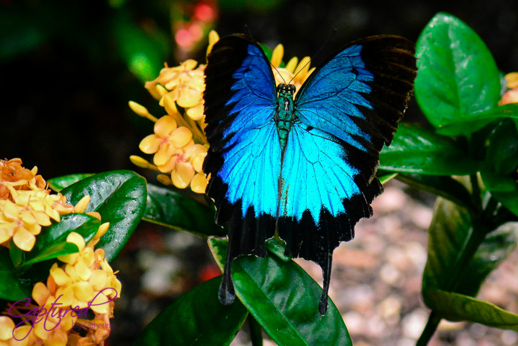 Blue Ulysses Butterfly Cairns